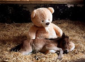 teddy-horse