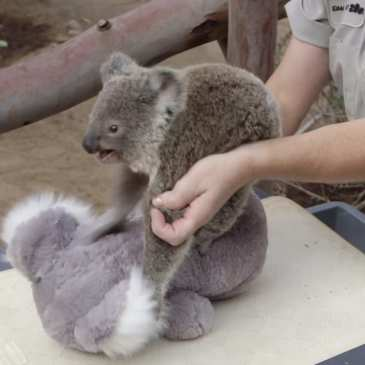 Here's how a stuffed koala helps to weigh a real one