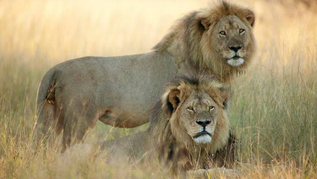 Zimbabwe says another US doctor has killed a lion