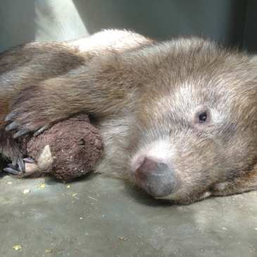 Depressed orphan wombat finds comfort in a teddy bear